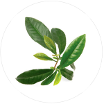 Camelia Sinensis leaves