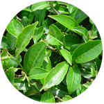 Camellia Sinensis Leaves Extract